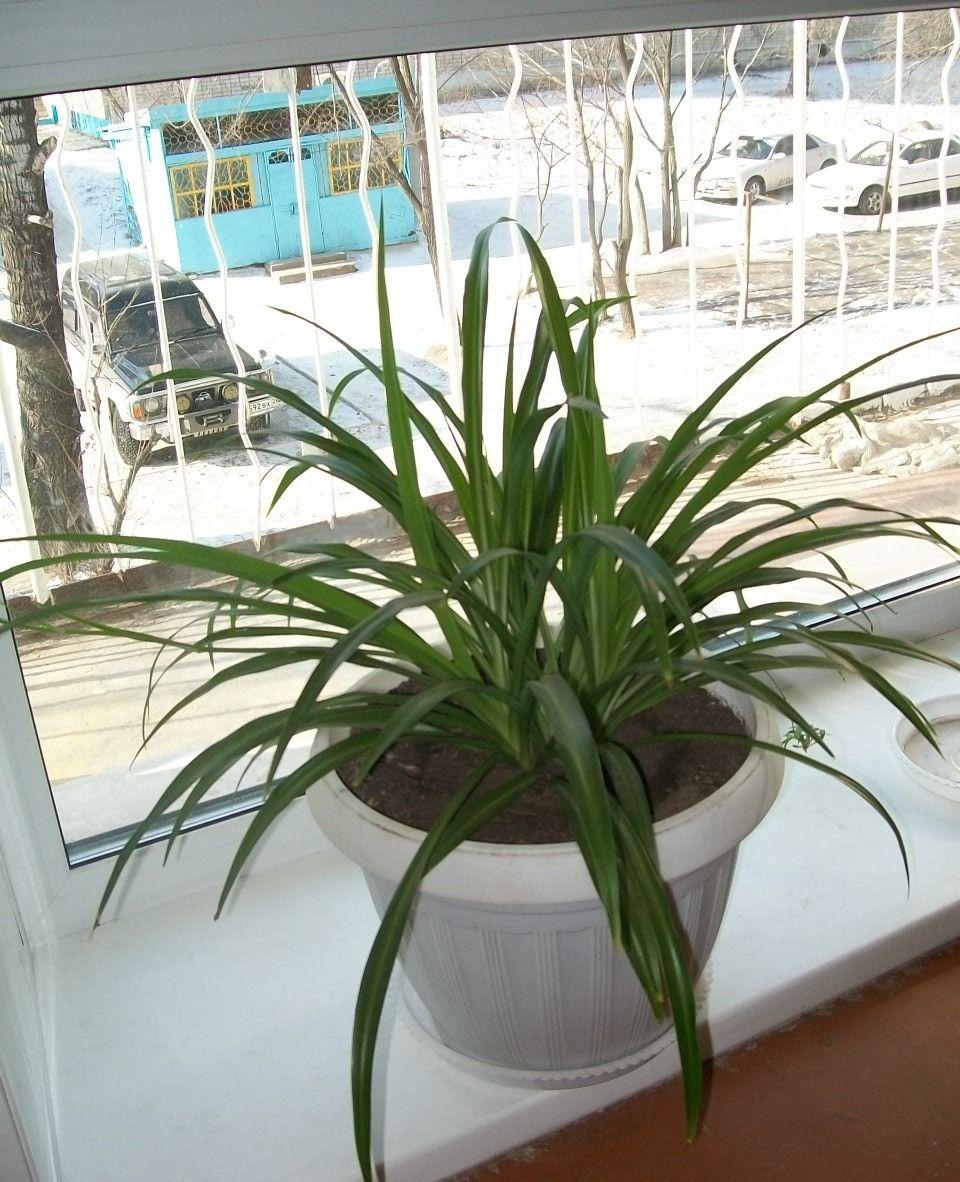 Уход за хлорофитумом в домашних условиях: полив, пересадка 90
